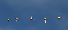 Photo of 22nd January 2021. Swans over the Manchester Ship Canal at Salford Quays, Greater Manchester.