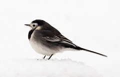 Photo of Pied Wagtail