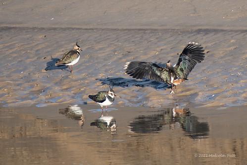 Lapwing - River Adur (064)