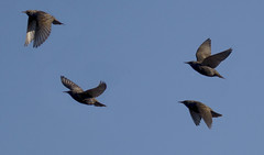 Photo of A (very small) Murmuration of Starlings