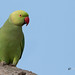 A Rose Ringed Parakeet Waiting for her friends