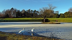 Photo of Swans On Ice