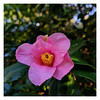 Camellia (?)