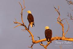 January 23, 2021 - A beautiful bald eagle pair at sunrise. (Tony's Takes)