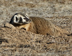 January 22, 2021 - A badger hangs out in Adams County. (Bill Hutchinson)