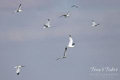 January 24, 2021 - Gulls fly over a pond in Thornton. (Tony's Takes)