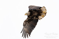January 24, 2021 - A young eagle takes flight. (Tony's Takes)