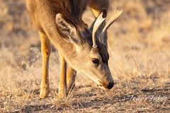 January 24, 2021 - A young mule deer buck eats breakfast. (Tony's Takes)