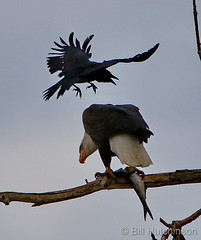 January 23, 2021 - A crow hassles a bald eagle. (Bill Hutchinson)