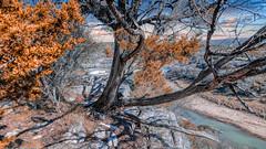 Cedar Tree Above Colorado River