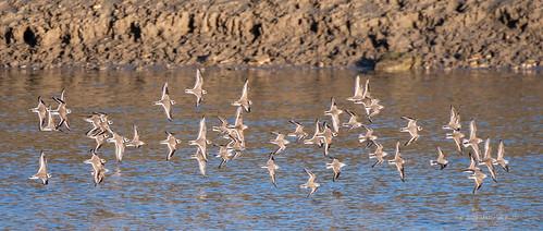 Mixed Flock - Adur (450)