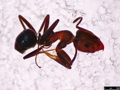 10 - Iridomyrmex sp.