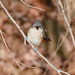 Tufted Titmouse-Cropped