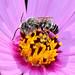 Megachile Native Bee