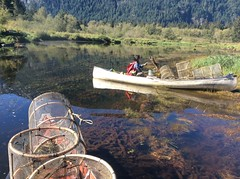 Fish trapping, Red Slough, Upper Pitt