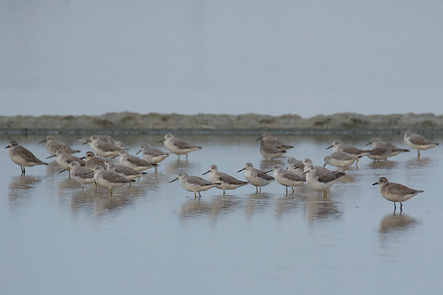 greenshank_spotted39