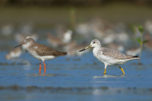greenshank_spotted26