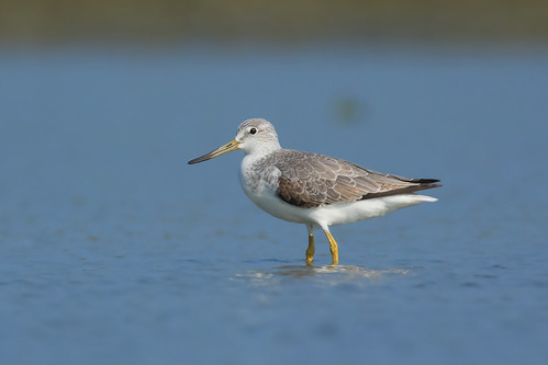 greenshank_spotted04