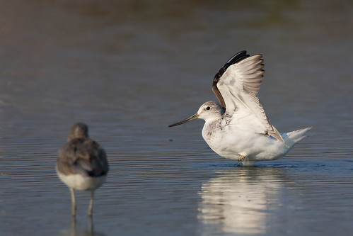 greenshank_spotted45