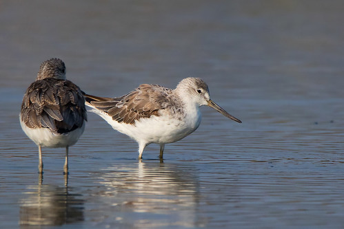 greenshank_spotted47