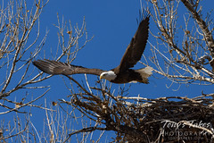 January 31, 2021 - A bald eagle lifts off from its nest. (Tony's Takes)