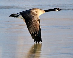 January 31, 2021 - A Canada goose on the move. (Bill Hutchinson)