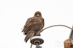 January 30, 2021 - A dark morph ferruginous hawk keeping watch. (Tony's Takes)