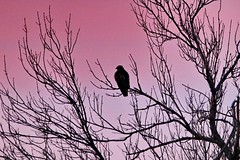 January 29, 2021 - Hawk at sunrise. (Bill Hutchinson)