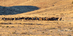 January 31, 2021 - A herd of elk on the move in the foothills. (Tony's Takes)