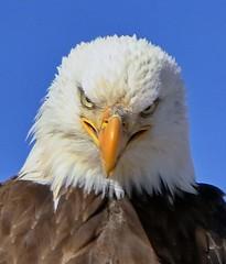January 31, 2021 - Bad attitude bald eagle. (Bill Hutchinson)