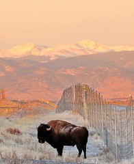 January 29, 2021 - Bison and the mountains. (Bill Hutchinson)