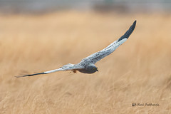 A Male Montague's Harrier looking to land