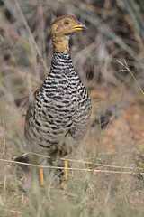 Coqui francolin, Peliperdix coqui, at Loodswaai Game Reserve, Gauteng, South Africa.