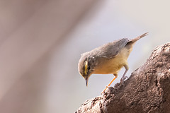 A Sulphur Bellied Warbler actively foraging