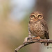 A Sleepy Spotted Owlet disturbed by other birds