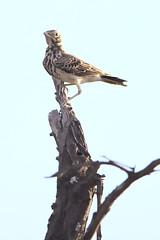 Dusky lark, Pinarocorys nigricans, at Loodswaai Game Reserve, Gauteng, South Africa