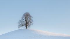 Linde auf einem Hügel