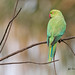 A Rose Ringed Parakeet upset with the Owlet