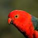 King Parrot (Alisterus scapularis)