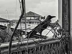 Crow in Stone Town.