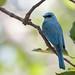 A Verditer Flycatcher resting under the canopy on a hot afternoon