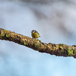 Blue Tit at Wentwood Forest