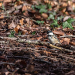 Coal Tit  at Wentwood Forest