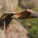 Griffon Vulture adult flight_w_ (Gyps fulvus)-6538