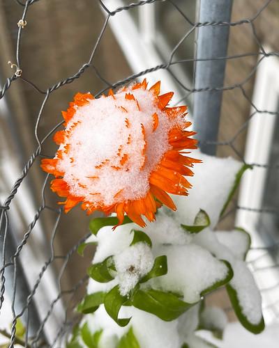 Snowy Marigold