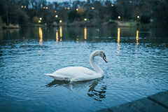 Swan swimming in a pond in the evening