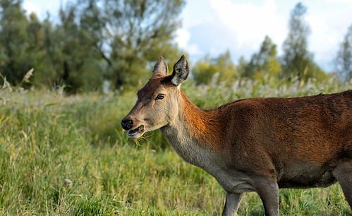 OVP-Deer01
