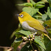 An Oriental White Eye on a Berry plant