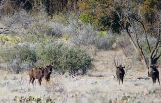 Black wildebeest 3