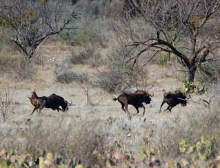 black wildebeest 2